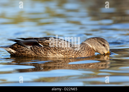 Anas platyrhynchos, Mallard. Wild bird in a natural habitat. Wildlife Photography. - Stock Photo