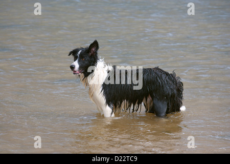 Border Collie dog playing in the Sea - Stock Photo