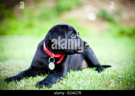 A black Labrador puppy with a red collar - Stock Photo