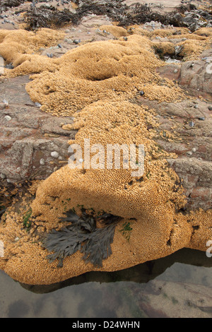 Honeycomb Worm (Sabellaria alveolata) tube reef colony, on exposed rocky shore at low tide, Bude, Cornwall, England, - Stock Photo