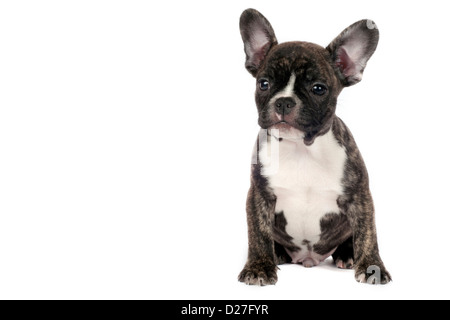French Bulldog puppy in front of a white background. - Stock Photo