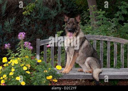 German Shepherd Dog sitting on swing - Stock Photo