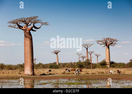 Madagascar, Morondava, Avenue of baobabs, boy grazing cattle at pond below Baobab trees - Stock Photo