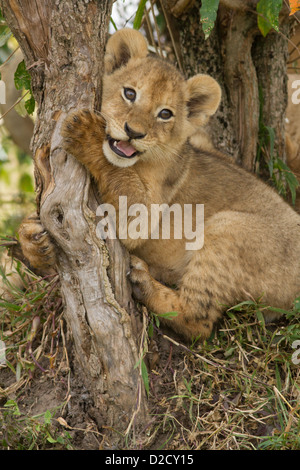 lion cub hugging and playing with a tree stump (Panthera Leo) - Stock Photo