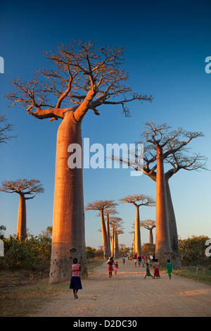 Madagascar, Morondava, Avenue of baobabs, Allee des Baobabs, at sunset - Stock Photo