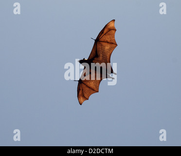 Large fruit bat known locally as flying fox glides overhead showing bone structure and veins in transparent outstretched - Stock Photo