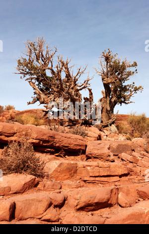 old knarled tree bush at guano point Grand Canyon west arizona usa - Stock Photo