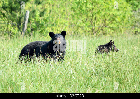 A black bear mother and cub in the fields in Cades Cove in the Smoky Mountains National Park in Tennessee. - Stock Photo