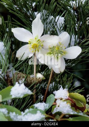 Helleborus niger Christmas rose black hellebore, Schneerose, Christrose, Weihnachtsrose (Helleborus niger) - Stock Photo