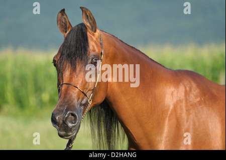 Horse in side view head shot, Arabian bay mare close up in open summer landscape outdoors. - Stock Photo