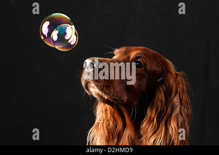 Irish Setter. Portrait of adult male watching a floating soap bubble. Studio picture against a white background, - Stock Photo