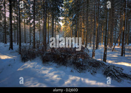 Fallen pine tree in a snowy forest, light spots of the last sun rays on snow and trees - Stock Photo