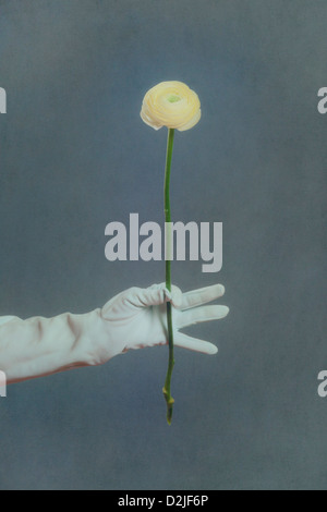a hand in a white glove is holding a yellow buttercup flower - Stock Photo