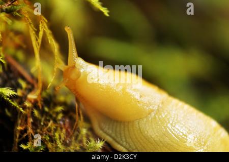 Yellow banana slug, Falls View Canyon Trail, Quilcene, Jefferson County, Washington, USA - Stock Photo