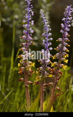 A small bulbous plant (Lachenalia mutabilis) in grassland, Cape, South Africa - Stock Photo