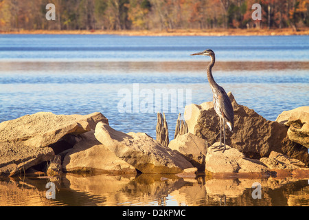 A great blue heron stands on some rocks on the shore of a lake - Stock Photo