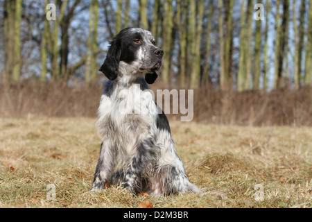 Dog English Setter adult (blue Belton) sitting in a meadow - Stock Photo