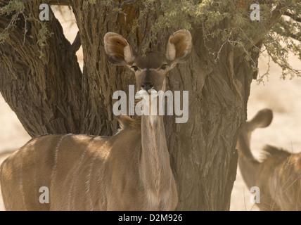 Female Greater Kudu (Tragelaphus strepsiceros) in the Kalahari Desert, South Africa - Stock Photo