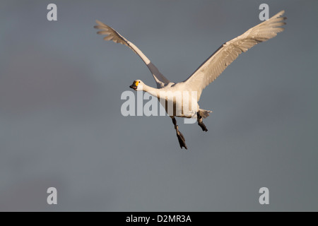 Bewick's Swan (Cygnus columbianus bewickii), adult, in flight in winter, Slimbridge, Gloucestershire, England, January - Stock Photo