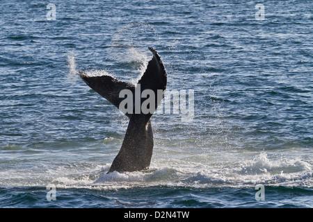 Humpback whale (Megaptera novaeangliae) tail slap, Gulf of California (Sea of Cortez), Baja California Sur, Mexico - Stock Photo