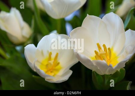 White tulip flowers - Stock Photo