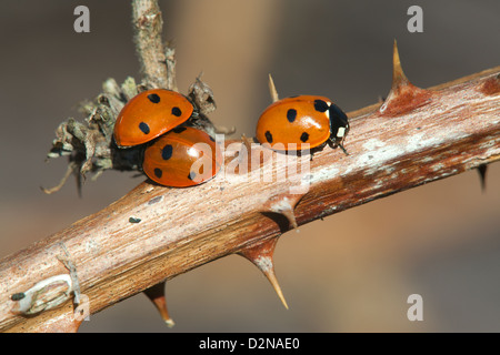 7-spot Ladybird Cocinella 7-puncata adults on a Bramble branch - Stock Photo