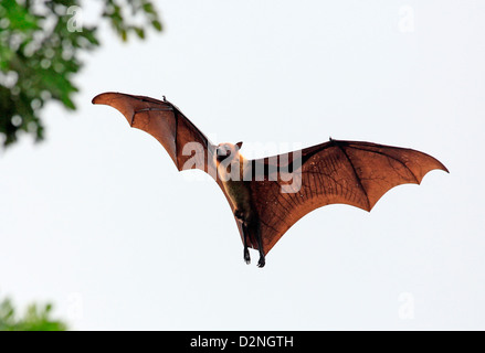 Fruit bat (flying fox) in Tissamaharama, Sri Lanka. - Stock Photo