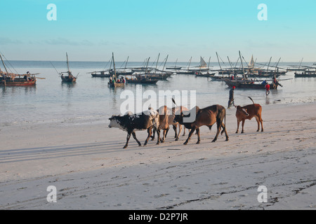 Fishing Village of Nungwi;cows going for walk on the Northern tip of Zanzibar, Island of Africa in the Indian Ocean - Stock Photo