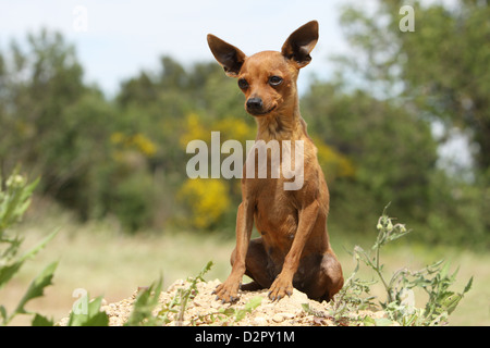 Dog Prazsky krysarik / Prague Ratter / Ratier de Prague  adult sitting on the ground - Stock Photo