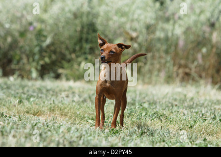 Dog Prazsky krysarik / Prague Ratter / Ratier de Prague  adult standing in a meadow - Stock Photo