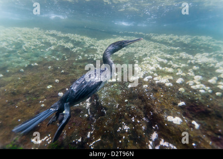 Flightless cormorant (Nannopterum harrisi) hunting underwater, Tagus Cove, Isabela Island, Galapagos Islands, Ecuador - Stock Photo