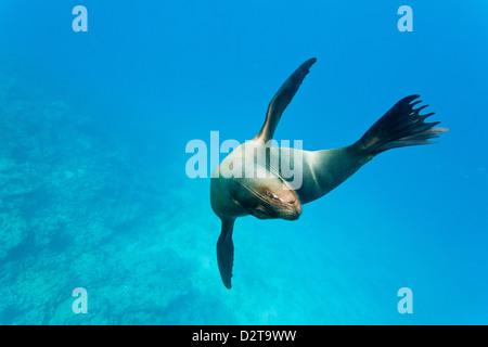 Galapagos sea lion (Zalophus wollebaeki) underwater, Champion Island, Galapagos Islands, Ecuador, South America - Stock Photo