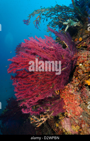 underwater view of red sea fans corals on coral reef, Paramuricea clavata, Mediterranean Sea, France - Stock Photo