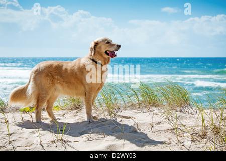 Golden retriever on a sandy dune overlooking tropical beach - Stock Photo
