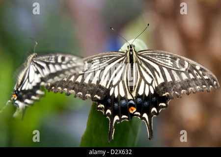 Lime butterfly (Papilio demoleus) is a butterfly usually seen in large parts of Asia. - Stock Photo
