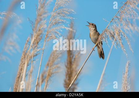 Male Savi's Warbler Locustella luscinioides singing in reeded in Hungary - Stock Photo