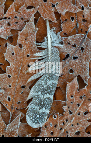 Frost on Ruffed Grouse (Bonasa umbellus) feather & Oak leaves on forest floor E USA - Stock Photo