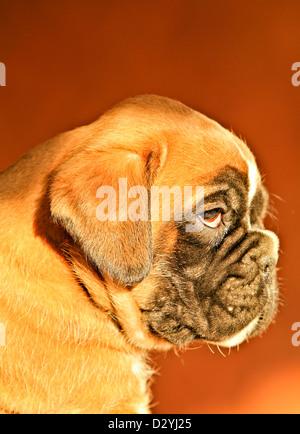 A boxer dog puppy, portrait - Stock Photo