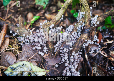 mushrooms, Lago de Yojoa, Lake Yojoa, Honduras, Central America - Stock Photo