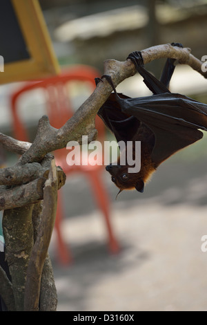 A head-down fruit bat in central Bali; Indonesia. - Stock Photo