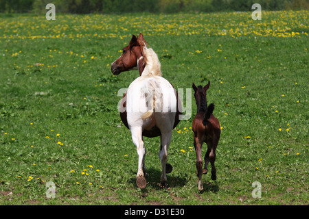 Arabian horses mare and foal on meadow, Lower Saxony, Germany - Stock Photo