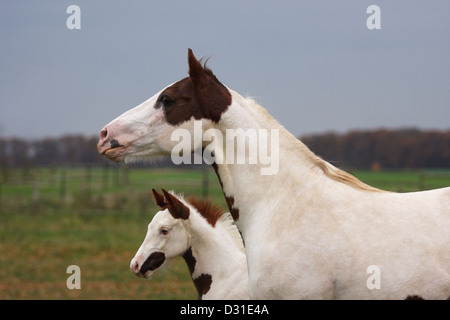 Paint horse mare with foal on meadow, Lower Saxony, Germany - Stock Photo