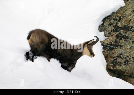 Chamois (Rupicapra rupicapra) buck in winter coat in the snow - Stock Photo