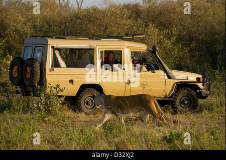 Safari vehicle with Lion (Panthero leo), Maasai Mara National Reserve, Kenya - Stock Photo