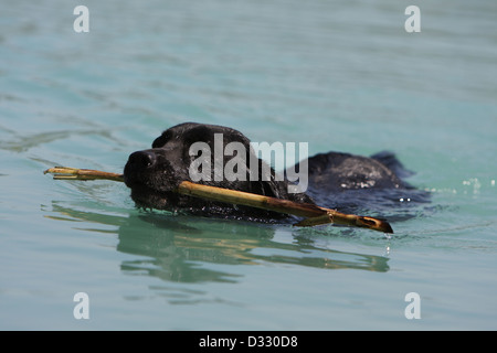 Dog Labrador Retriever  adult (black) swimming with a stick in its mouth - Stock Photo