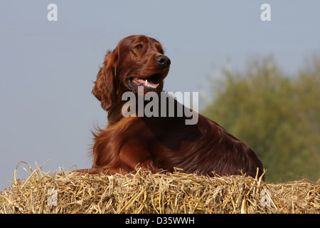 Dog Irish Setter / Red Setter adult lying on the straw - Stock Photo