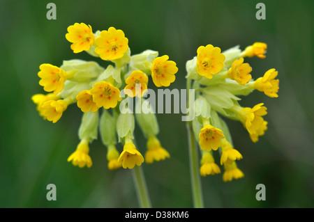 Cowslip (Primula veris) flowers in bloom. Dorset, UK May 2012 - Stock Photo