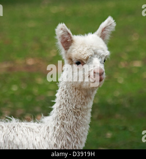 Close up of head and face of young alpaca - cria - against a dark green background - Stock Photo