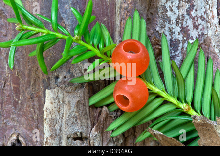 Pacific Yew tree, Elliptical seeds 1/4' long, enclosed in scarlet cups. - Stock Photo