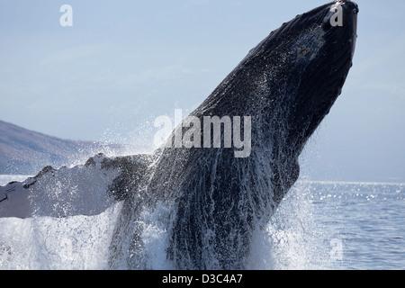 Breaching humpback whale, Megaptera novaeangliae, Hawaii. - Stock Photo